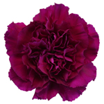 Golem Fuchsia Purple Carnation Flower Bloom