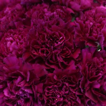 Golem Fuchsia Purple Wholesale Carnations Up close