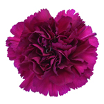 Golem Fuchsia Purple Carnation Flower FlatLay
