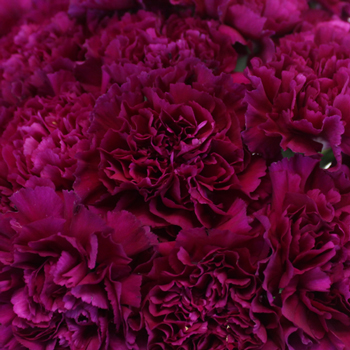 Fuchsia Purple Wholesale Carnation Flower