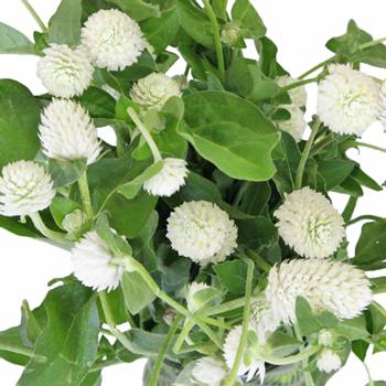 White Wedding Gomphrena Flower
