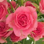 Gracia Hot Pink Spray Roses up close