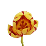 Grand Perfection Yellow and Red Tulips Wholesale Flower Side Stem
