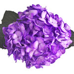 Grape Purple Airbrushed Hydrangea Flower Up Close