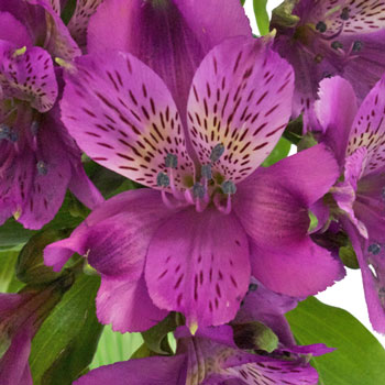 Grape Purple alstroemeria Wholesale Flower Upclose