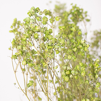 Zesty Light Green Dried Baby's Breath