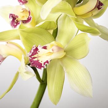 Green cymbidium orchid DIY wedding flowers