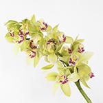 Green cymbidium orchid wholesale wedding flowers