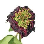 Green Eyes Merlot Garden Rose Stem