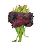 Green Eyed Merlot Garden Rose Side Stem View
