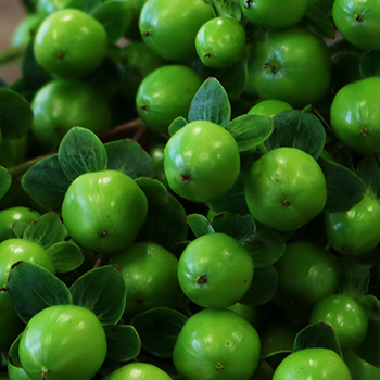 Green Hypericum Berries