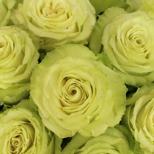 Green Limeade Rose