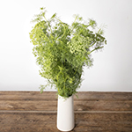 Green Queen Anne's lace flowers for delivery