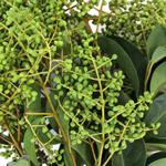 Bulk Greens Chily Pepper