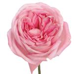 Gum Drop Pink Garden Roses up close