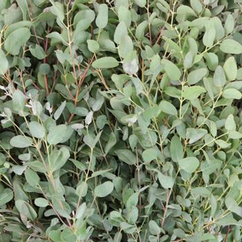 Gunnii Eucalyptus Wholesale Flower Up Close