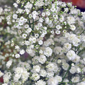 Baby's Breath Combo Pack