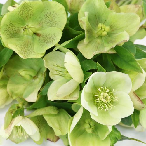 Chartreuse Envy Designer Hellebore Flowers