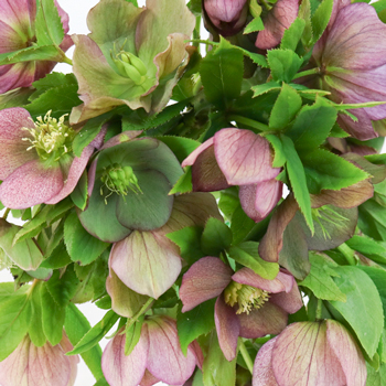 Rose Berry Wedding Designer Hellebore Flowers
