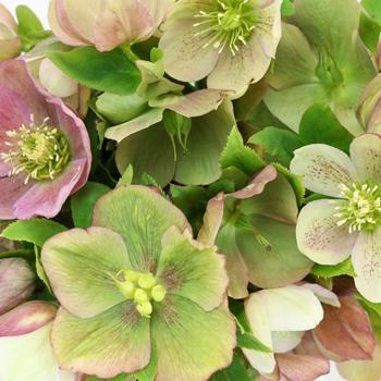 Hues of Pink Designer Hellebore Flowers