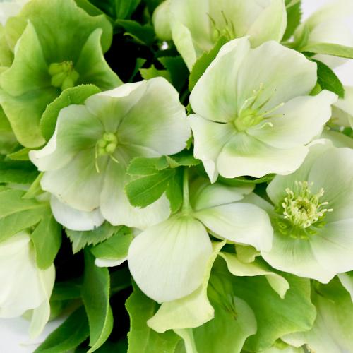 Ivory Garden Designer Hellebore Flowers