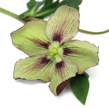 Plum Picotee Hellebore Flowers