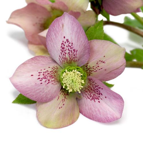 Pink Lady Hellebore Flowers
