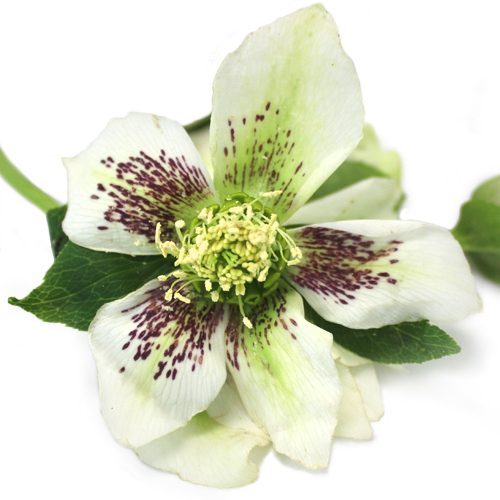White Spotted Hellebore Flowers