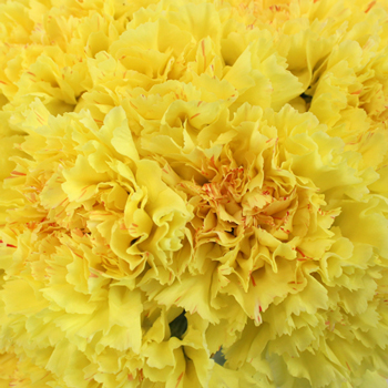 Yellow Carnation Flowers