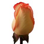 High Pink Rose Up Close