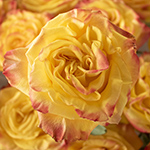 Highflame Yellow Orange Wholesale Rose Bunch in a hand