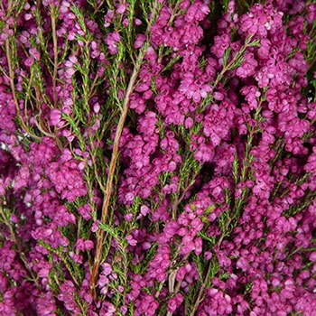 Sunset Heather Hot Pink Flower