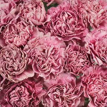 Homer Magenta Wholesale Carnations Up close