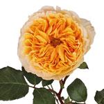 Honeybee David Austin Garden Rose Stem