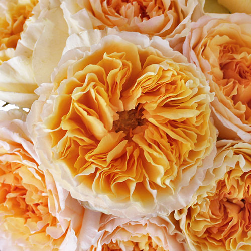 Honeybee David Austin Garden Roses up close