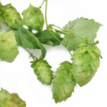 Heaps of Hops Vine