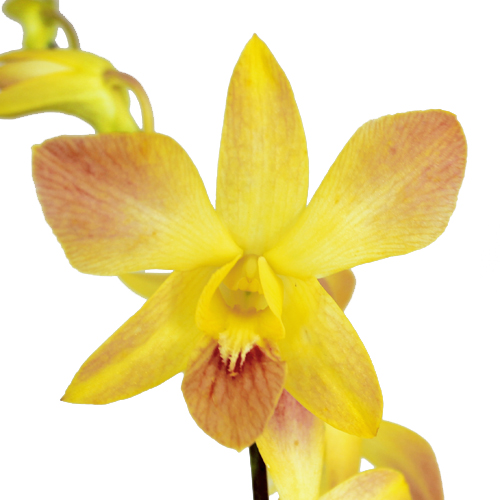 Hot and Spicy Loose Orchid Blooms