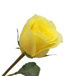 Hot Merengue Lemon Rose Side View