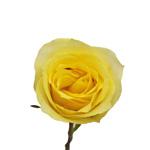 Hot Merengue Yellow Rose stem