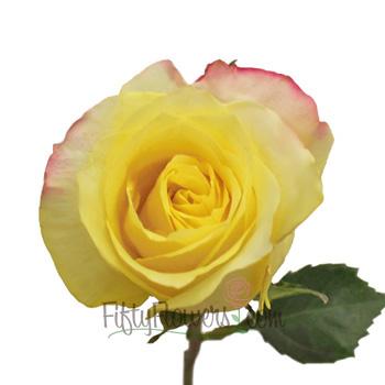 Hot Merengue Lemon Yellow Rose Up Close