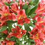 Hot Pepper Dark Orange Alstroemeria Wholesale Flower Up close