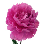 Hot Pink Alexandra Flemming Peony Side Stem View