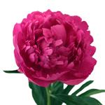 Hot Pink Alexandra Flemming Peony Bloom View