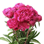 Hot Pink Alexandra Flemming Peony in a vase