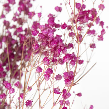 Dolled Up Hot Pink Dried Gypsophila