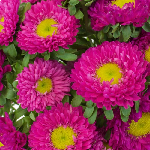 Hot Pink Matsumoto Flowers