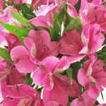 Hot Pink Peruvian Lily Flower Up Close