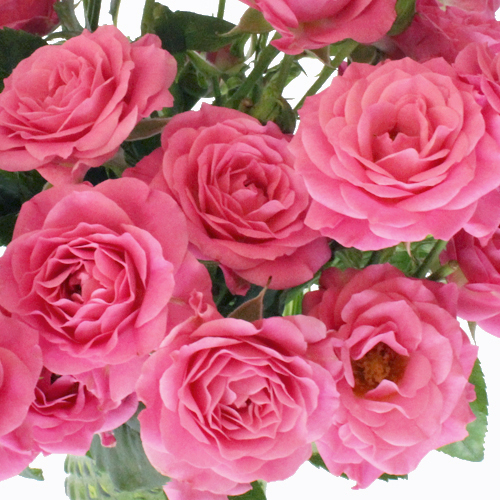 Hot Pink Spray Bulk Roses