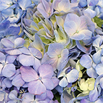 Hues of Lavender Hydrangea Wholesale Flower Up close
