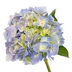 Hues of Lavender Hydrangea Stem View close up